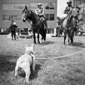 pug-and-horses_7349933728_l